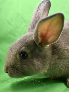 Young Bunny- Fluffle: #4B4