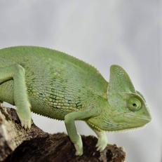 Chameleons- Females Available