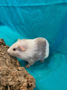 Young Male Guinea Pig- Herd: #3G2