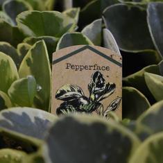Peperomia obtusidolia (Pepperface)