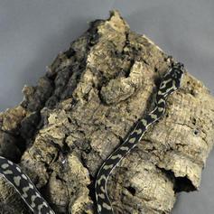 Costal Carpet Python #4