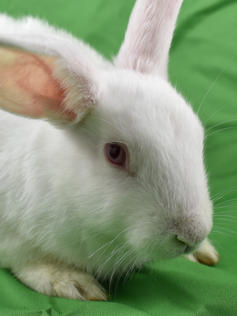 Young Bunny- Fluffle: #1B3