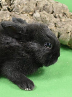 Young Bunny- Fluffle: #12B5