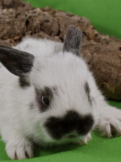 Young Bunny- Fluffle: #12B6