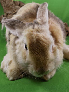 Young Bunny- Fluffle: #19B2