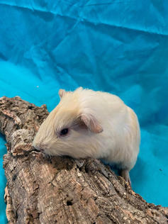 Young Male Guinea Pig- Group: #3G5