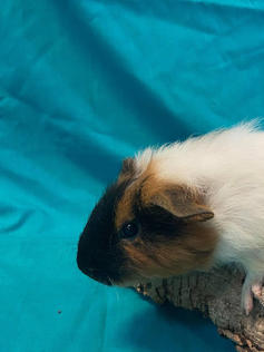 Young Male Guinea Pig- Herd: #2G5