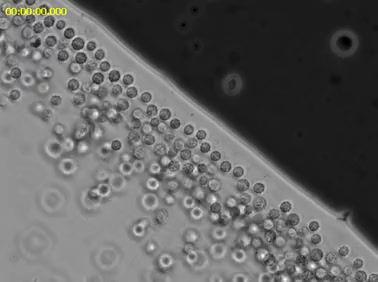 Multicellular (!) Magnetotactic Bacteria
