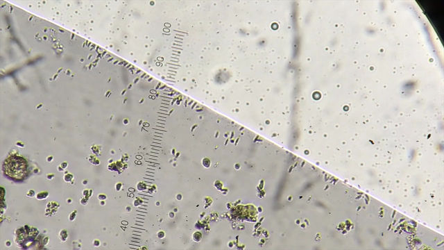 Magnetotactic bacteria from Strawberry Creek
