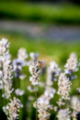 Honey-bee-lav.jpg