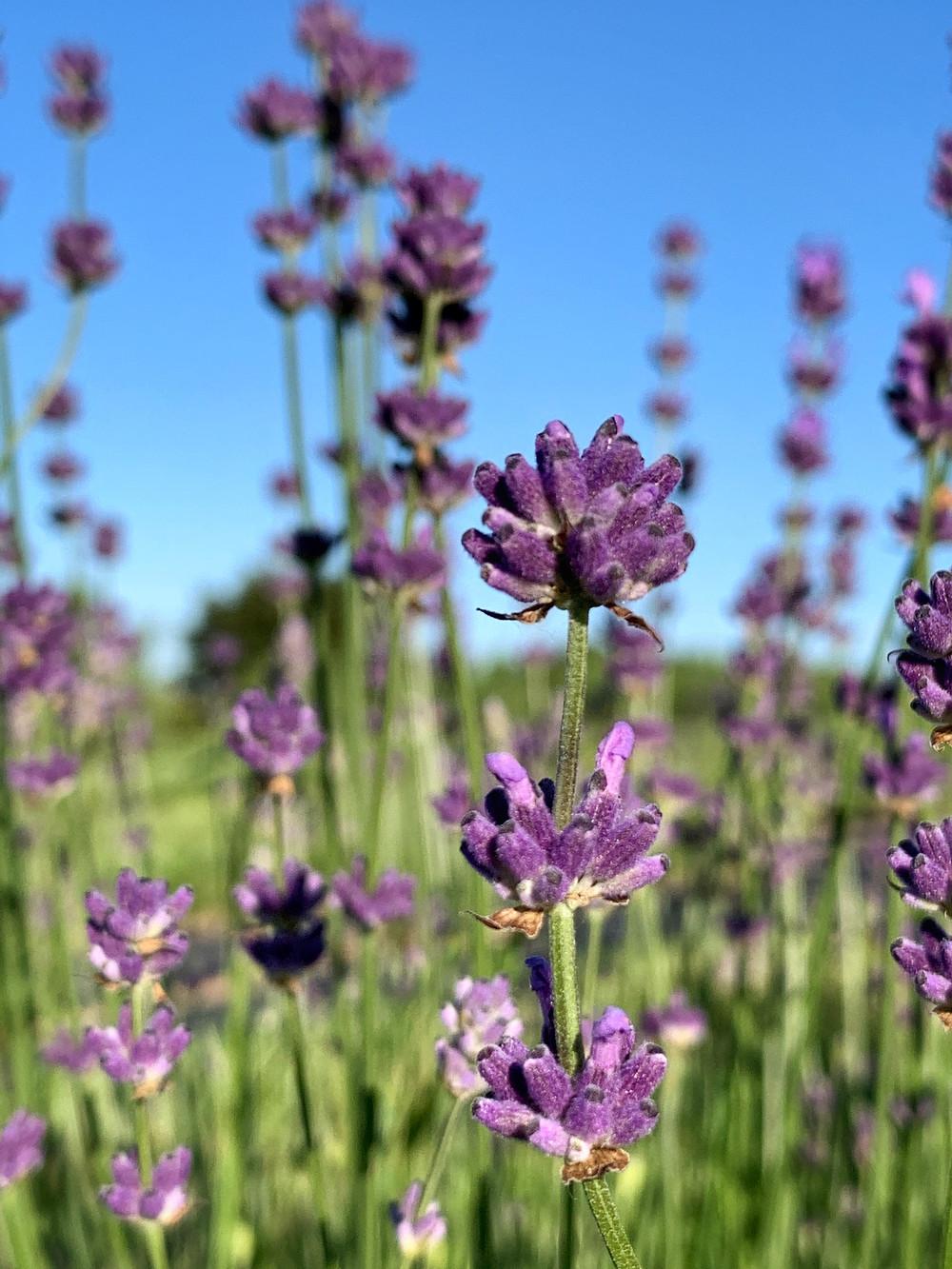 Purple Lavender Buds Field Farm Flowers Summer