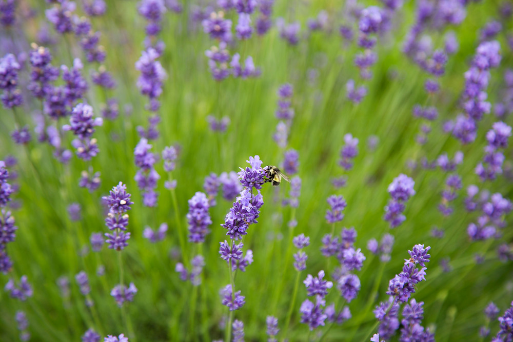 lavender farm blooms bee summer flowers plant purple growing lavender