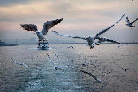 Seagulls of İstanbul