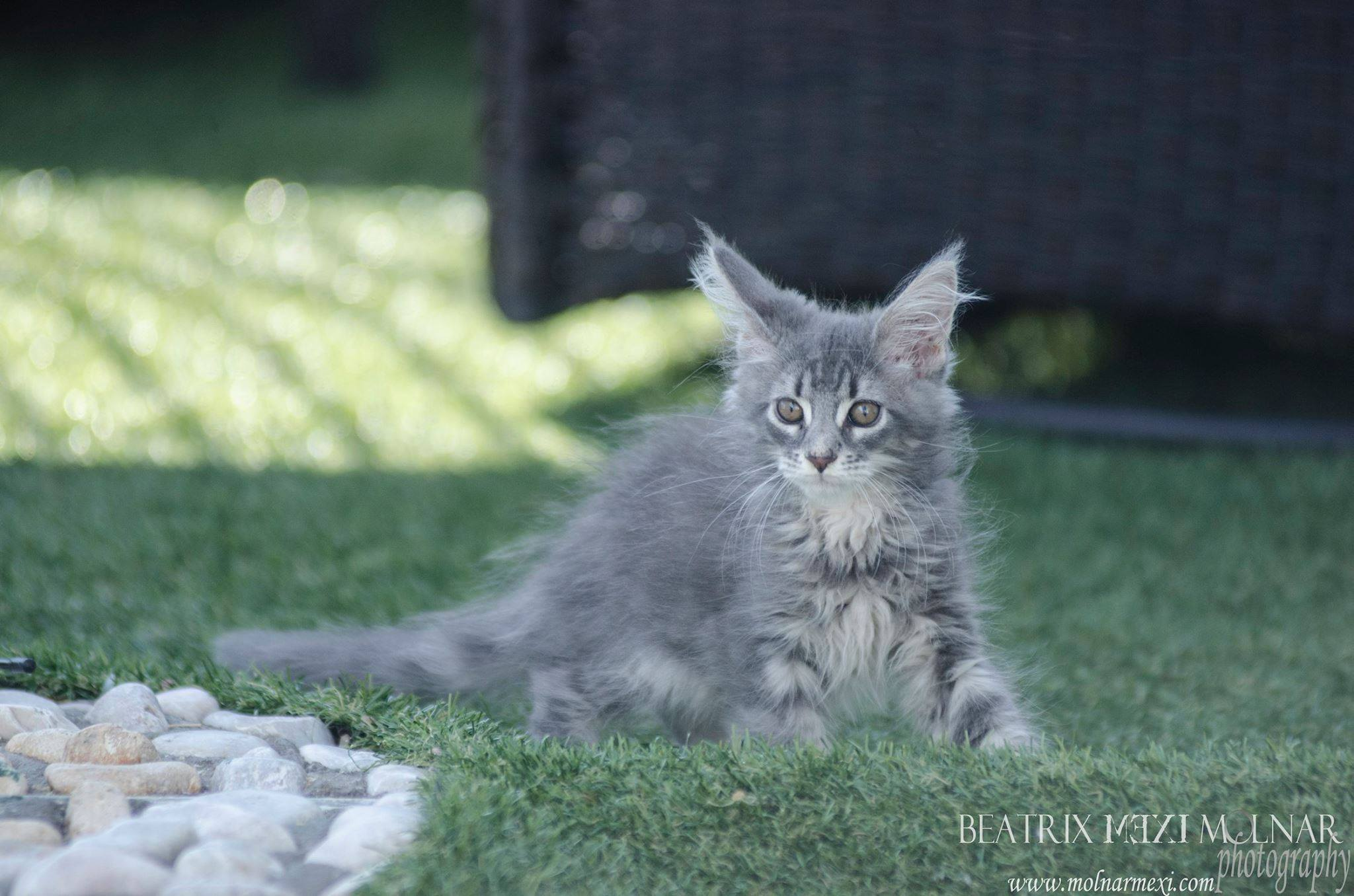 8_mainecoon_mexico_jagger