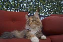 2_mainecoon_mexico_moulin