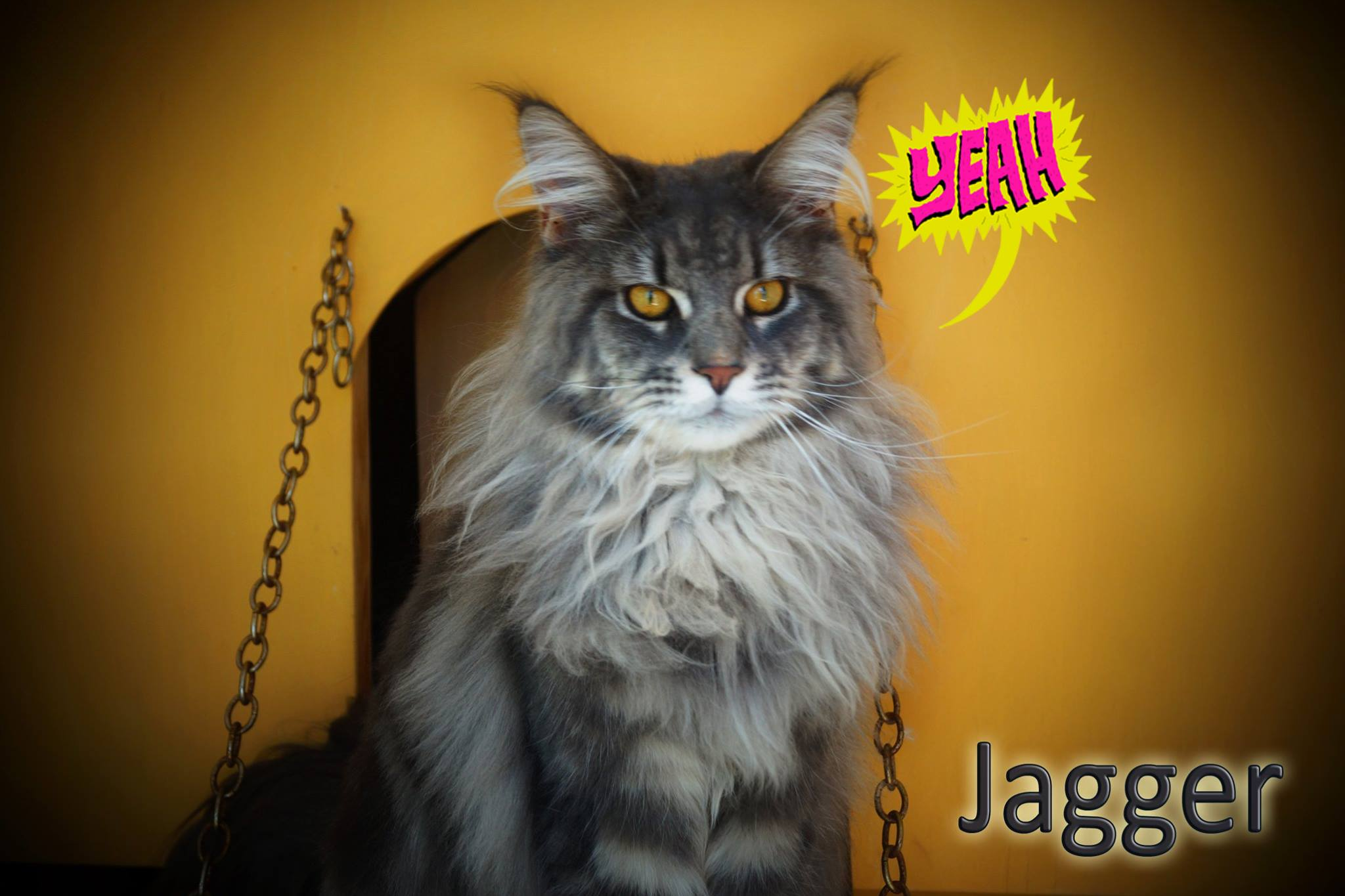 5_mainecoon_mexico_jagger