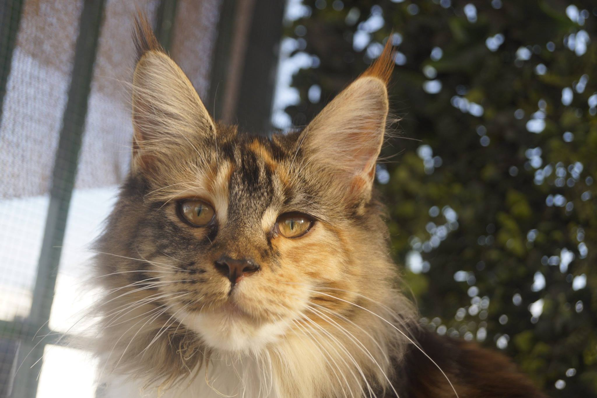 3_mainecoon_mexico_gwenever