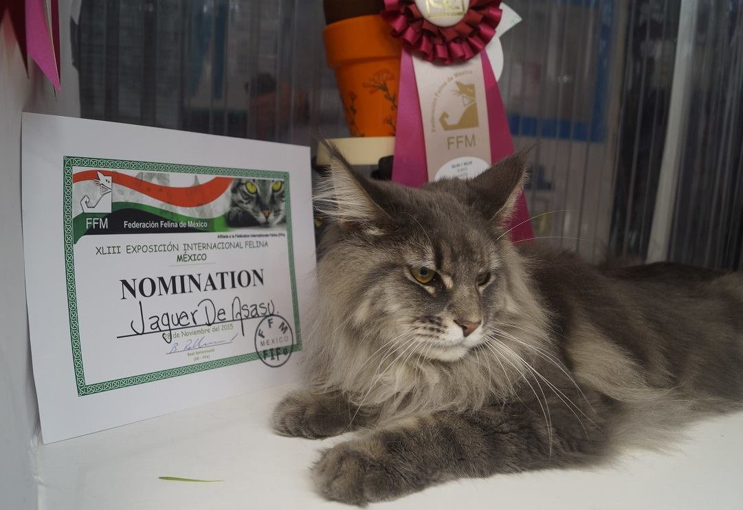 4_mainecoon_mexico_jagger
