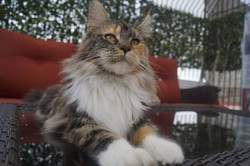 2_mainecoon_mexico_gwenever