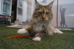 1_mainecoon_mexico_moulin