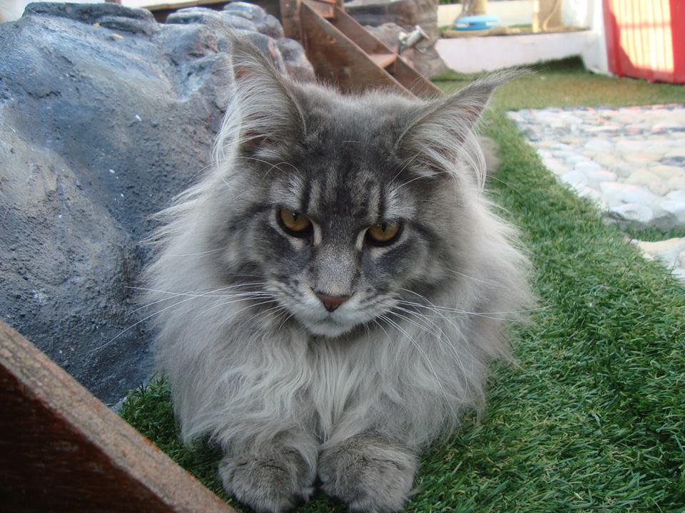 6_mainecoon_mexico_jagger