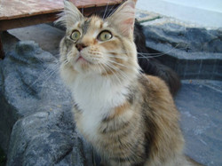 4_mainecoon_mexico_moulin