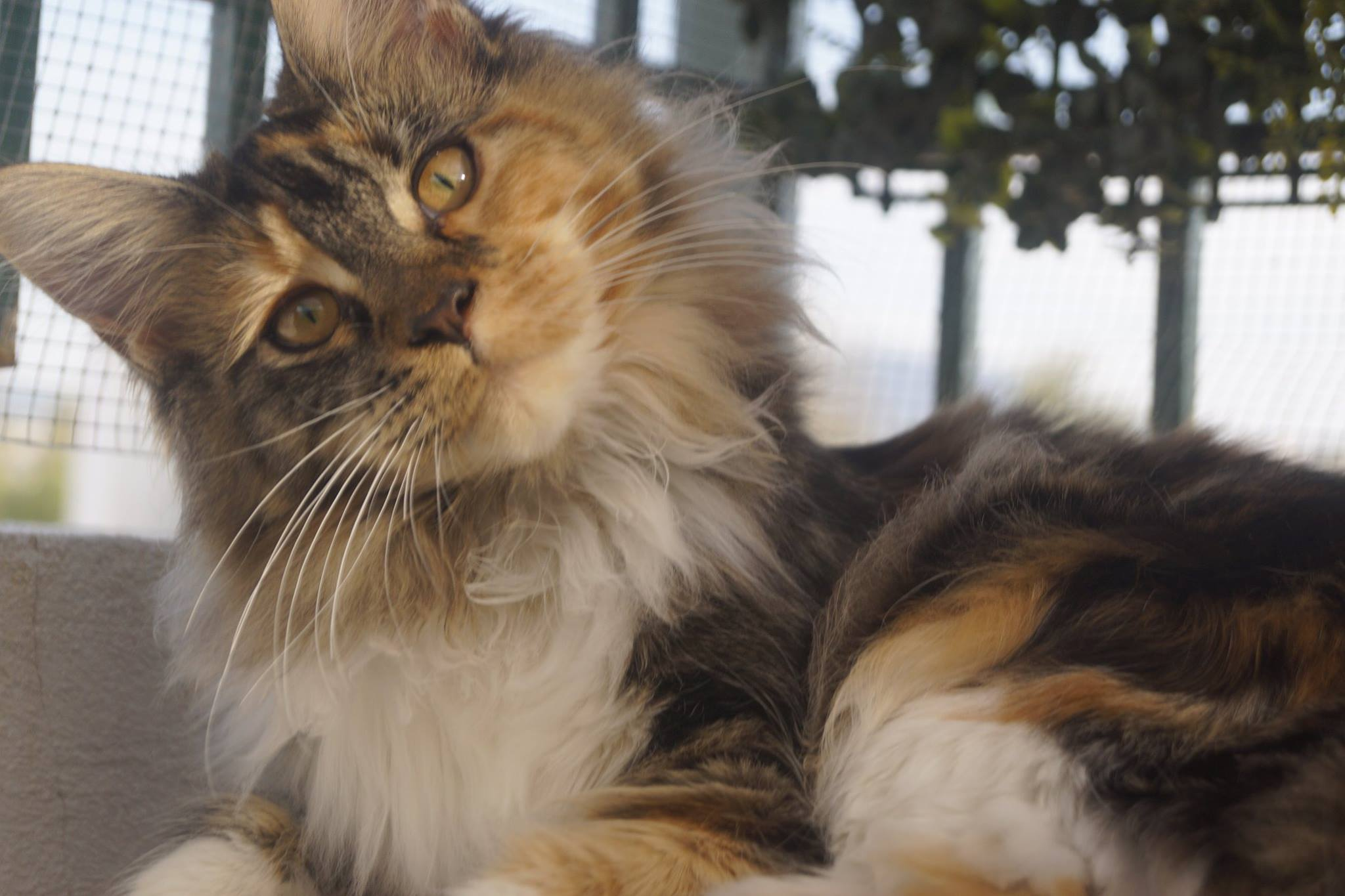 4_mainecoon_mexico_gwenever