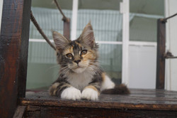 1_mainecoon_mexico_gwenever