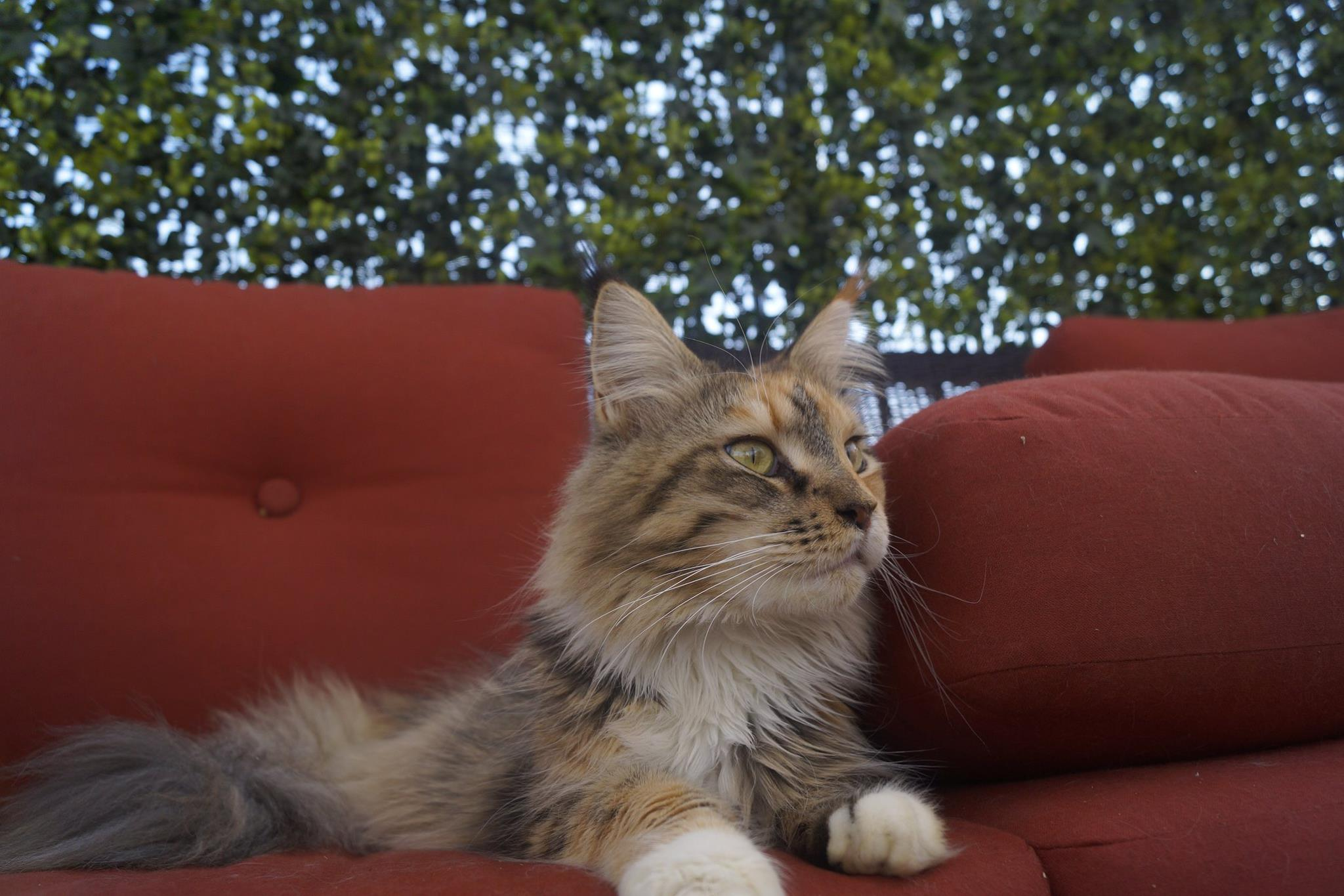 3_mainecoon_mexico_moulin
