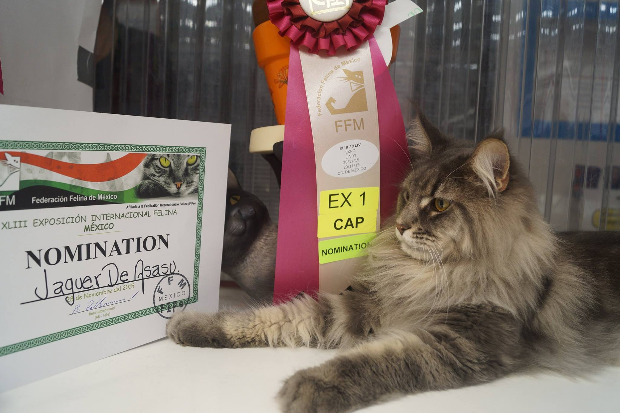 12_mainecoon_mexico_jagger