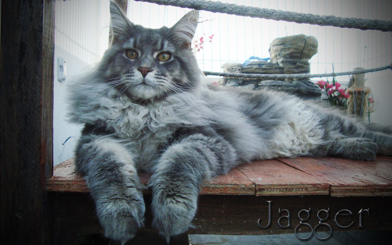 3_mainecoon_mexico_jagger