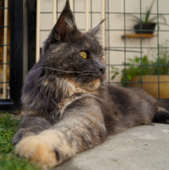 MAINE COON MEXICO