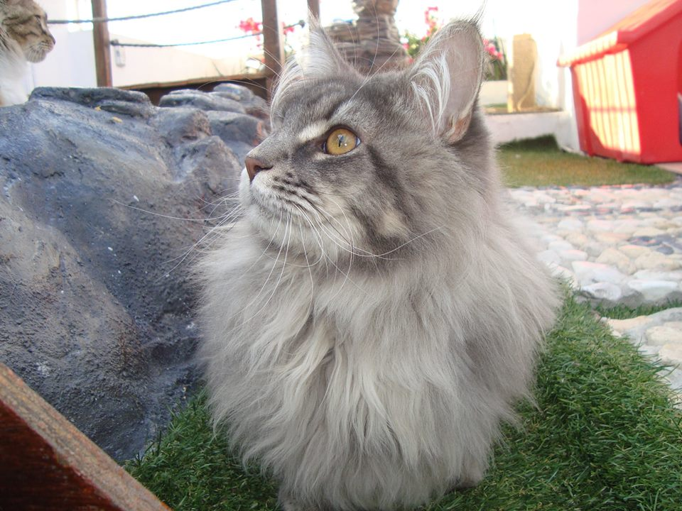 7_mainecoon_mexico_jagger