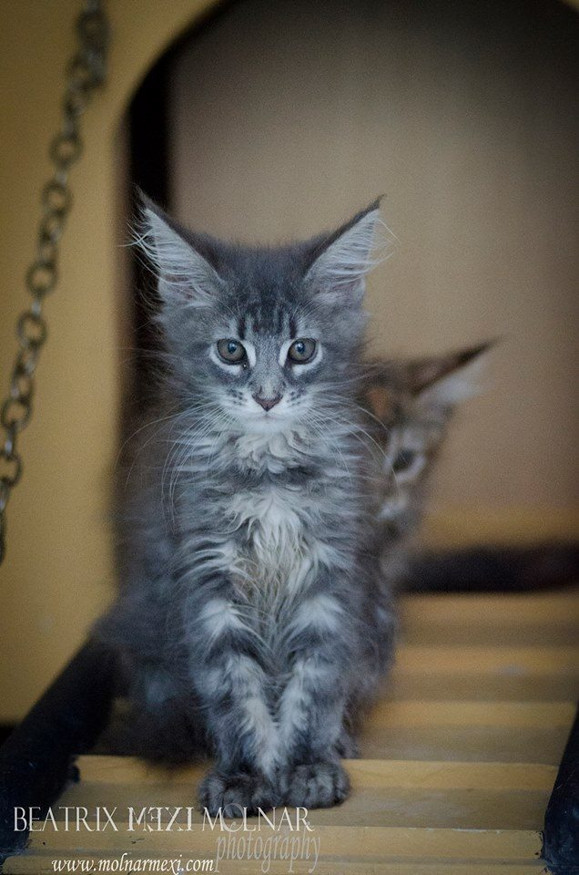 9_mainecoon_mexico_jagger