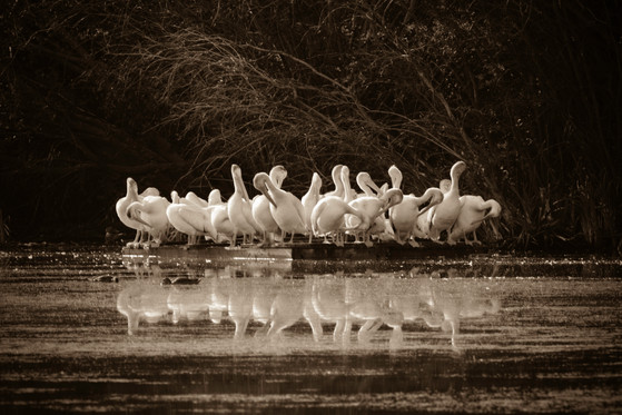 Pelicans Reflect