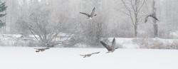 Canada Geese Winter Leduc reservoir Nov