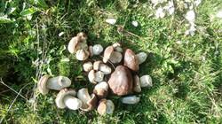 Fichten Steinpilze
