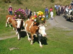 Geschmückte Kühe - Alpabzug