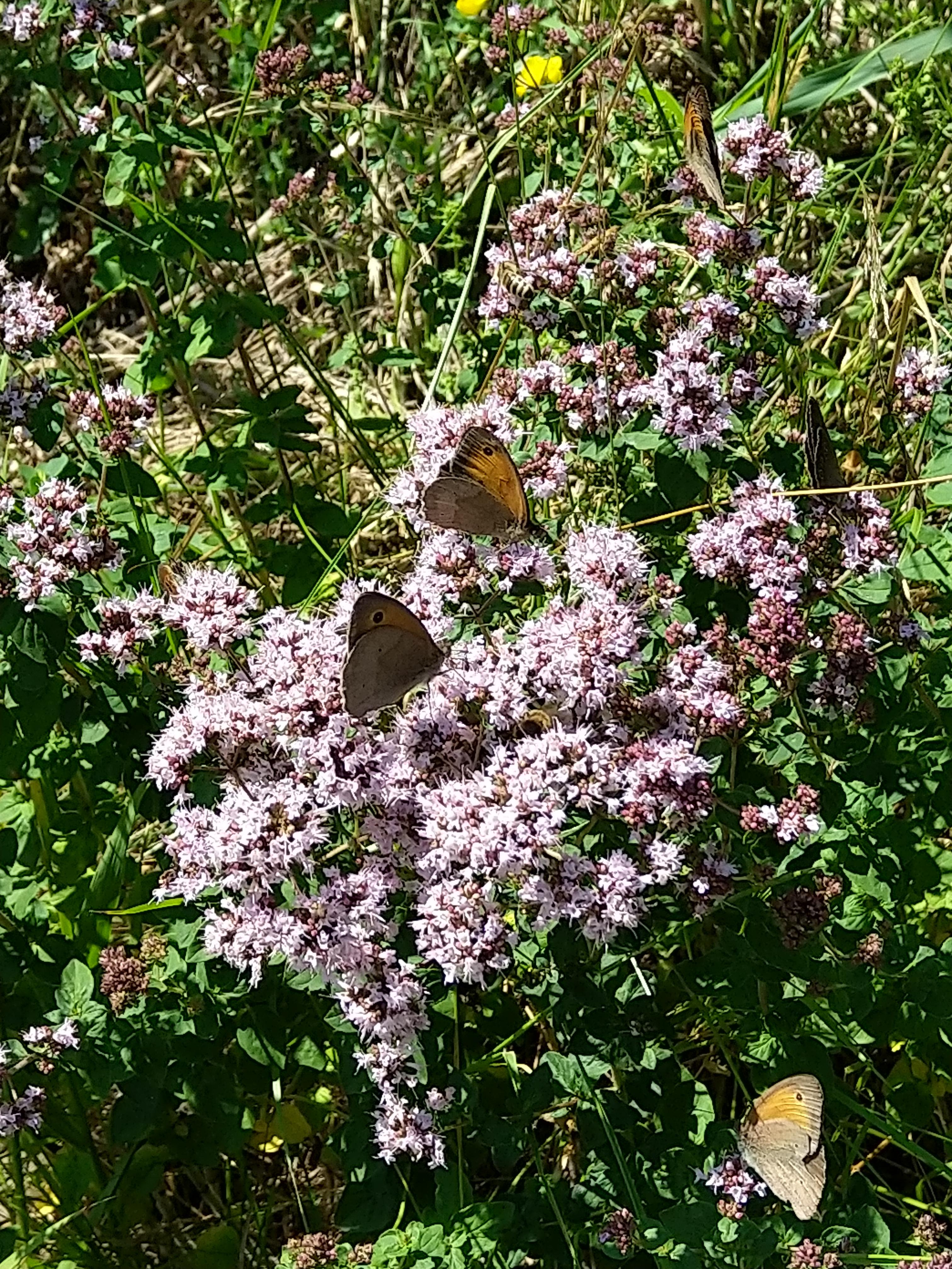 Schmetterlinge auf wildem Dost