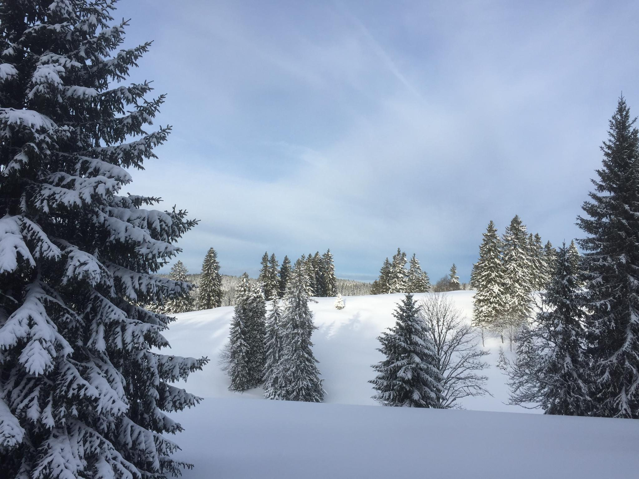 Verschneite Tannen im Jura