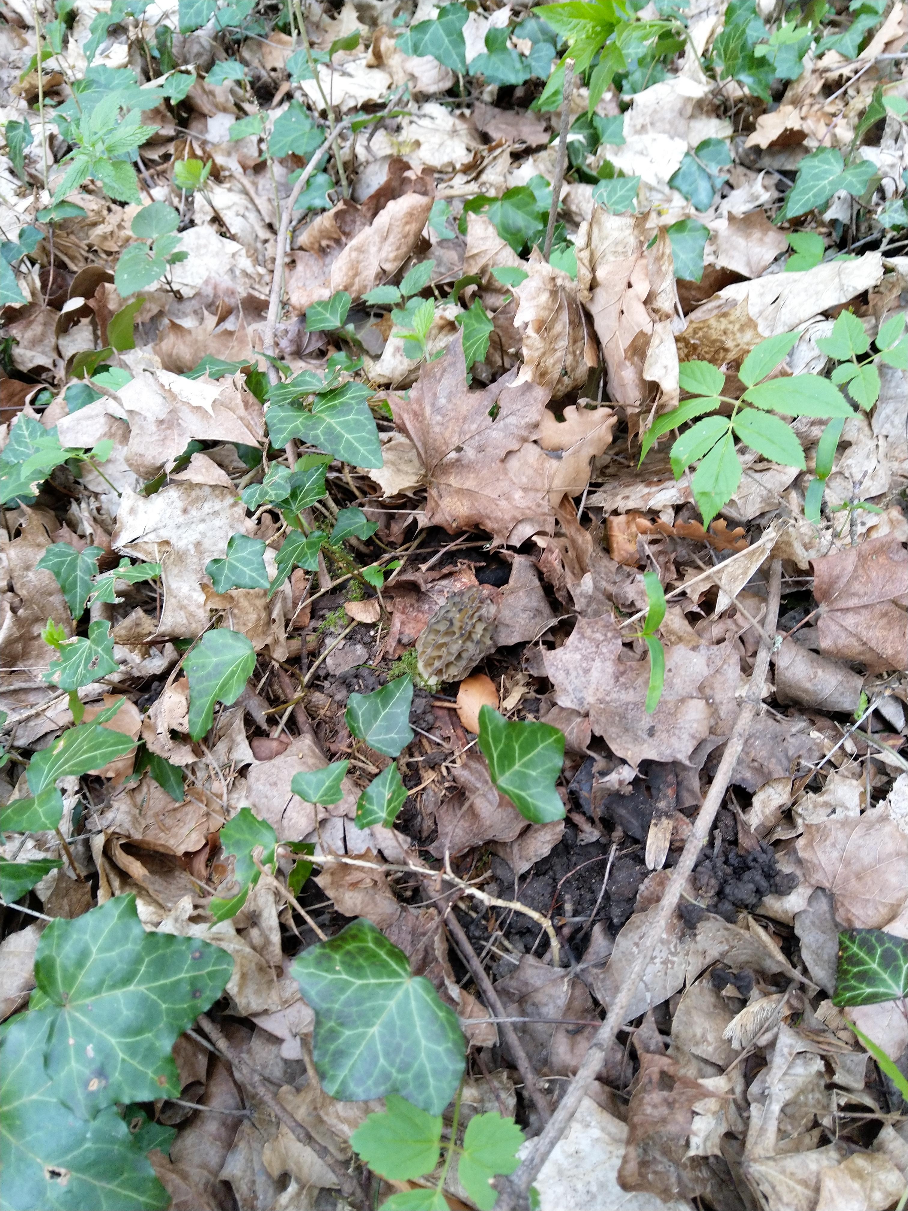 Morchel im Wald