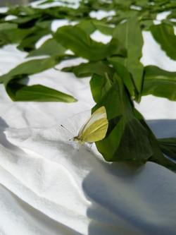 Zitronenfalter (weibchen)