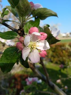 Blüte an einem Apfelbaum