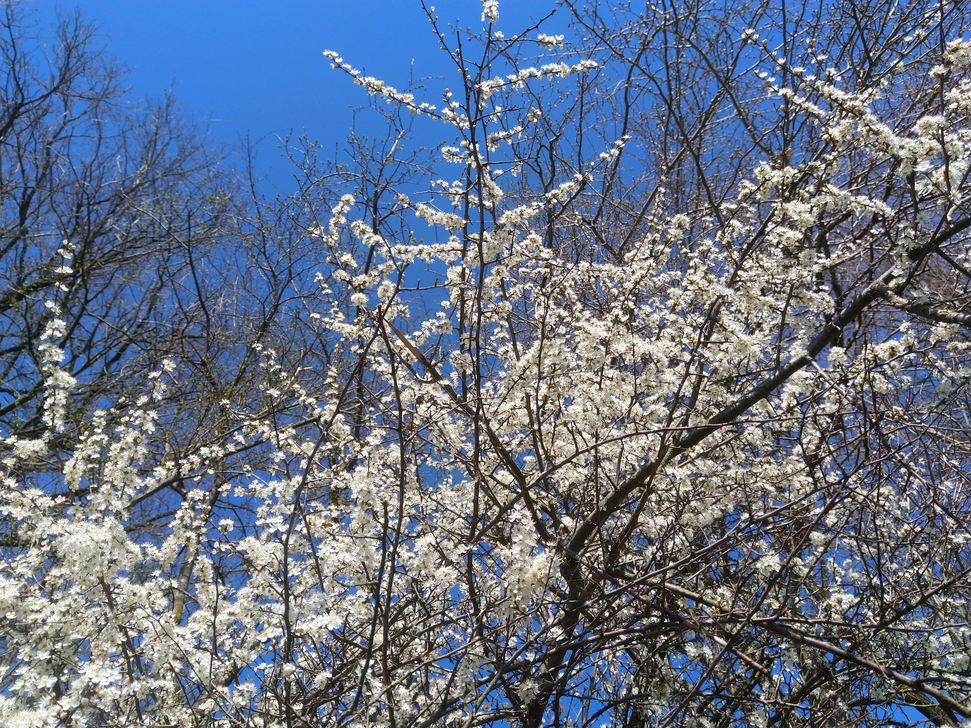 Schwarzdorn in der Blütenpracht