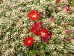 Blume Besteigung Nevado Pisco