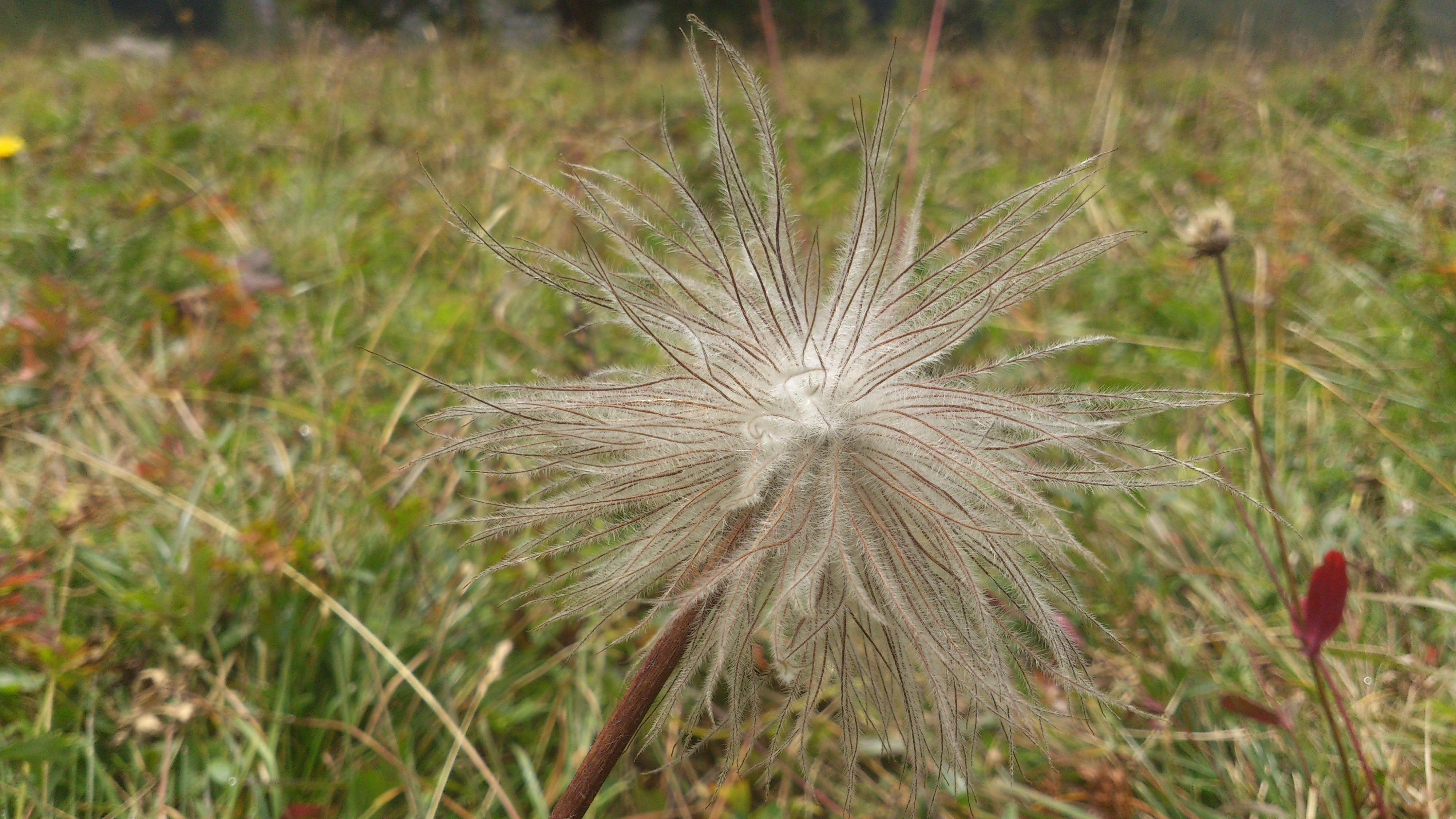 Wollgräser