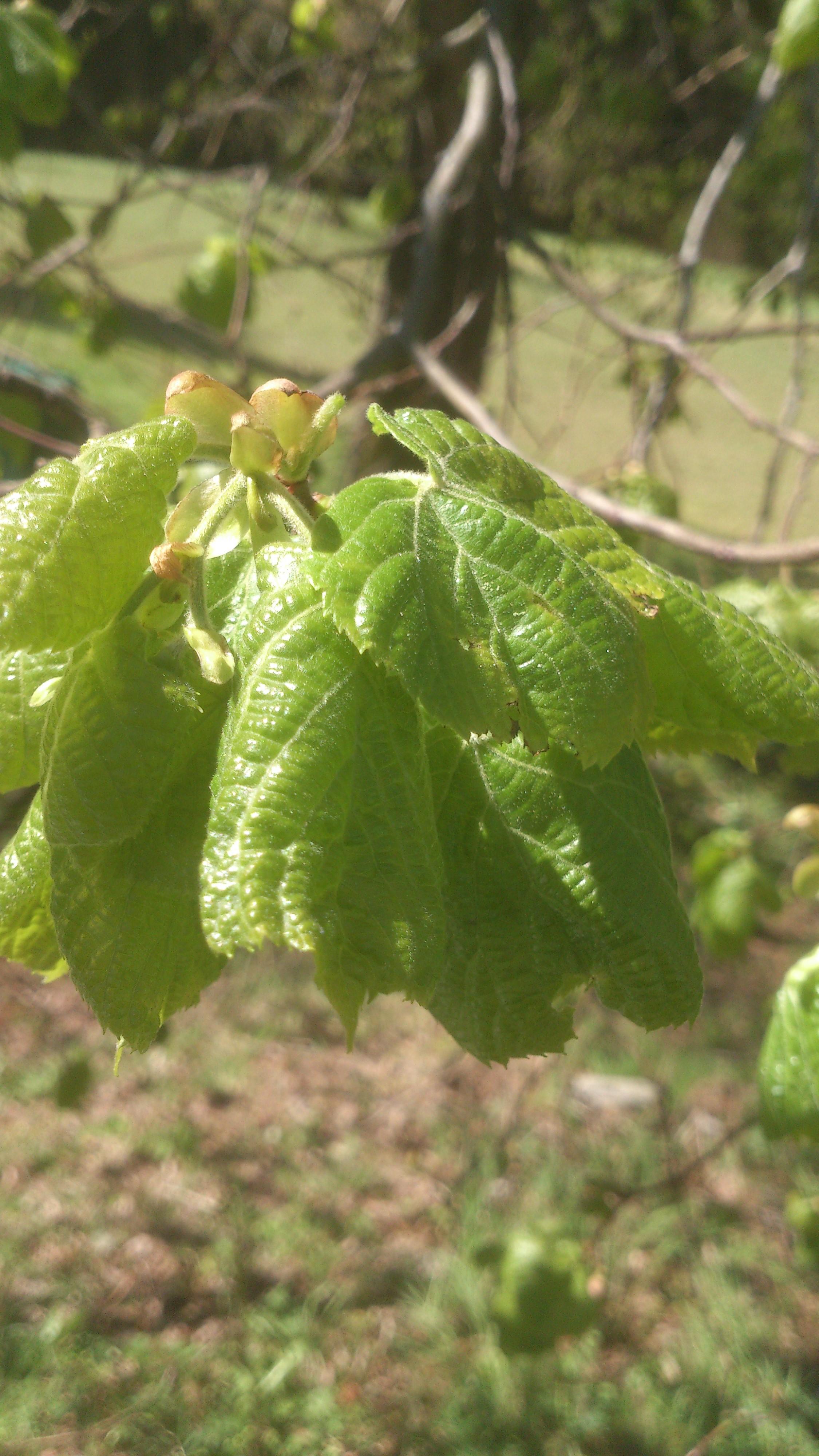 Lindenblüten Blätter