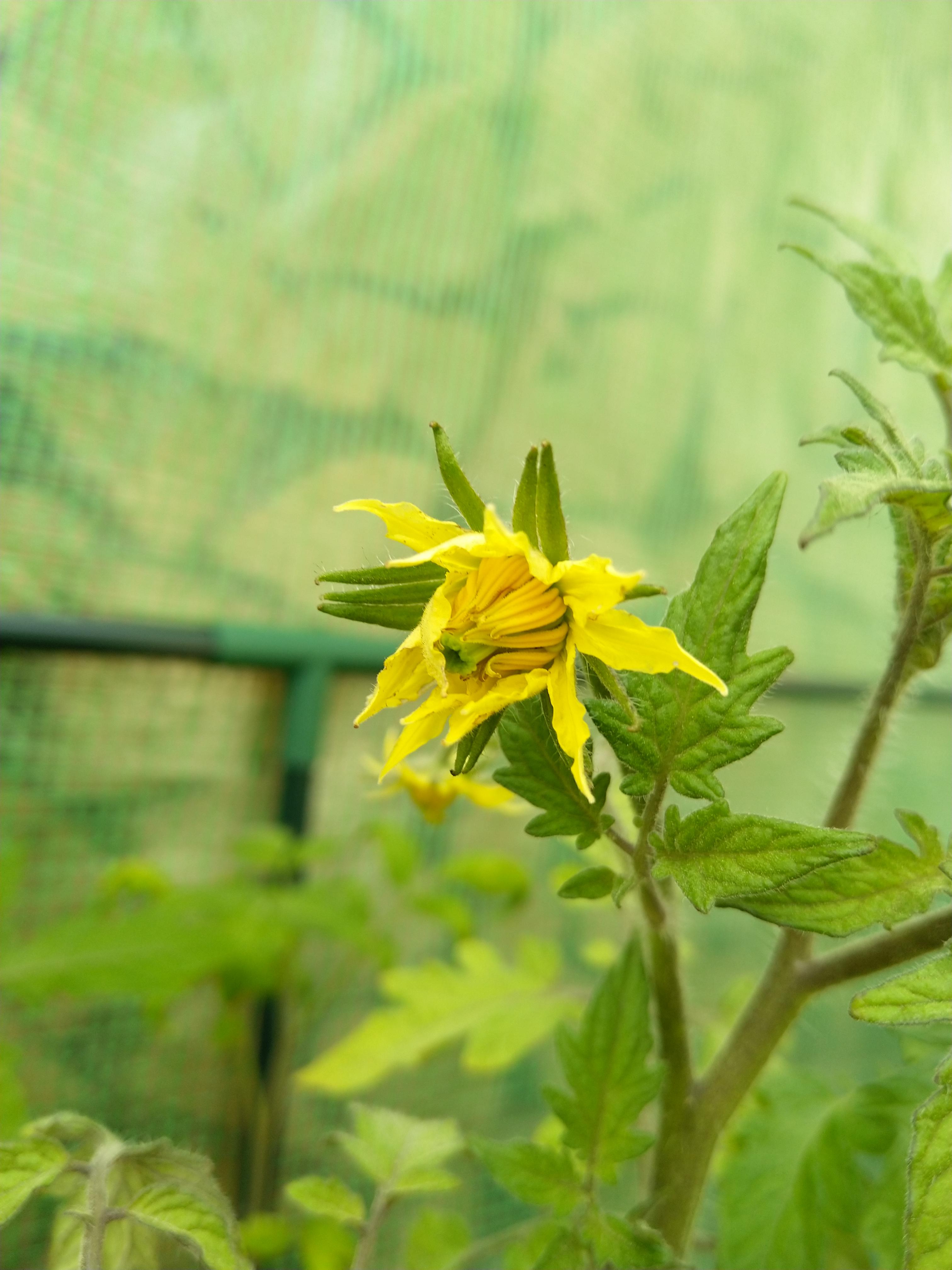 Blüte von Tomate im Garten