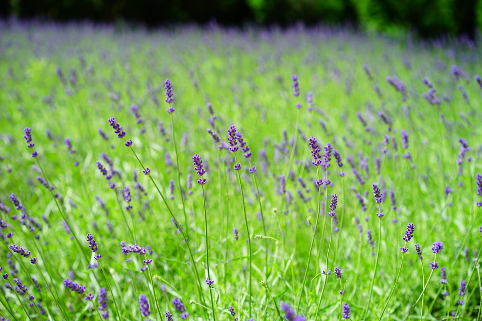 Lavendel - go-trekking.ch