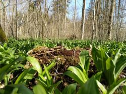 frischer Bärlauch im Wald
